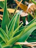 Primo piano verde dei cactus nel Montenegro Cactus nel paesaggio urbano Fotografie Stock