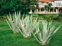 Primo piano verde dei cactus nel Montenegro Cactus nel paesaggio urbano Immagini Stock
