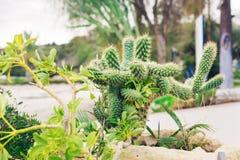 Primo piano verde del cactus Immagini Stock Libere da Diritti
