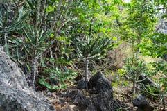 Primo piano verde del cactus San verde Pedro Cactus, vicino dei cactus esagonali a crescita rapida spinosi di forma perfettamente Fotografie Stock