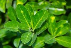 Primo piano verde del cespuglio della foglia di tè un giorno soleggiato Immagini Stock Libere da Diritti