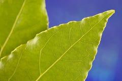 Primo piano verde del foglio Fotografia Stock Libera da Diritti