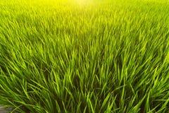 Primo piano verde del giacimento del riso Natura ed agricoltura Immagine Stock