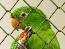 Primo piano verde del pappagallo Fotografie Stock Libere da Diritti