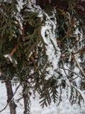 Primo piano verde del ramo di albero con neve bianca immagini stock