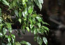 Primo piano verde del ramo di albero dell'alloro Fotografie Stock Libere da Diritti