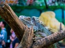 Primo piano verde dell'iguana sul bello animale del ramo fotografia stock libera da diritti