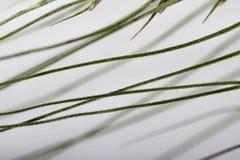 Primo piano verde dell'orecchio del grano con le sete Come causa della malattia, fistole del cereale negli animali da allevamento Fotografia Stock
