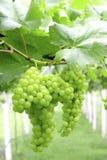 Primo piano verde dell'uva da una vigna Immagini Stock Libere da Diritti