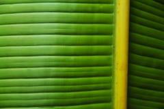 Primo piano verde della foglia della banana Fotografia Stock