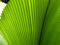 Primo piano verde della foglia di palma del fan Fotografie Stock Libere da Diritti