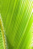 Primo piano verde della fronda della palma Immagini Stock Libere da Diritti