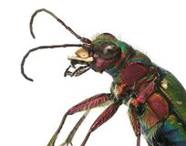 Primo piano verde dello scarabeo di tigre Fotografie Stock Libere da Diritti