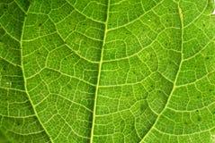 Primo piano verde fresco di macro di struttura della foglia Fotografia Stock Libera da Diritti