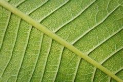 Primo piano verde fresco di struttura del foglio Fotografie Stock