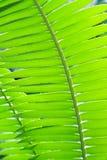 Primo piano verde fresco di struttura o del fondo della foglia del fuoco di selezione Fotografia Stock Libera da Diritti