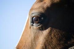 Primo piano verticale del fronte e degli occhi di un cavallo di razza Immagini Stock
