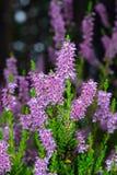 Primo piano vulgaris del fiore comune porpora selvaggio del Calluna o di Heather, fuoco selettivo, DOF basso fotografie stock libere da diritti