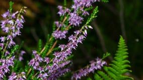 Primo piano vulgaris del fiore comune porpora selvaggio del Calluna o di Heather, fuoco selettivo, DOF basso fotografia stock