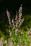 Primo piano vulgaris del fiore comune porpora selvaggio del Calluna o di Heather, fuoco selettivo, DOF basso immagini stock libere da diritti