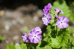 Primo primo piano del fiore della primula immagine stock