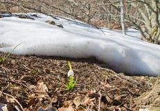Primo snowdrop contro fogliame Immagine Stock Libera da Diritti