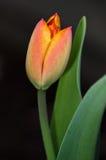 Primo tulipano Fotografie Stock