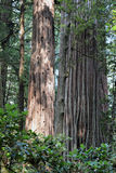 California Redwood Forest Tree. Primordial redwood trees on Avenue of the Giants, State Route 254, California stand tall Royalty Free Stock Photos