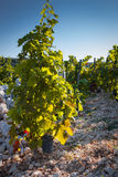 Primosten Babic Vineyard Royalty Free Stock Photography
