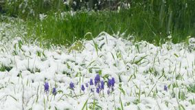 Primroscues covered with snow. Spring primroses are covered with snow during a snowfall stock video