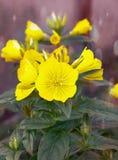 Primrose βραδιού τα λουλούδια κήπων λουλουδιών στο κρεβάτι λουλουδιών, οφθαλμός είναι Στοκ Εικόνες