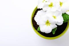 primrose λευκό Στοκ εικόνα με δικαίωμα ελεύθερης χρήσης