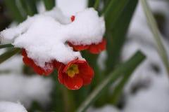 Primrose λουλούδι στο κόκκινο και κίτρινος που καλύπτεται στο χιόνι που λαμβάνεται στο Σάσσεξ Αγγλία Στοκ φωτογραφία με δικαίωμα ελεύθερης χρήσης