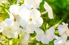 Primrose λουλούδια στον κήπο Στοκ φωτογραφία με δικαίωμα ελεύθερης χρήσης