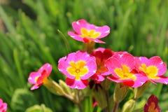 Primrose λουλούδια Στοκ εικόνες με δικαίωμα ελεύθερης χρήσης