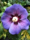 Primrose λουλούδι Στοκ Εικόνες