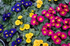 Primrose. Native to Alps; commonly cultivated Royalty Free Stock Photography