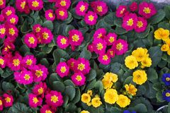 Primrose. Native to Alps; commonly cultivated Royalty Free Stock Photos