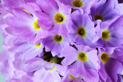 Primrose. Bloom.Primrose spherical, macro photography Royalty Free Stock Images