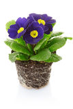 Purple primrose flower with soil Royalty Free Stock Images