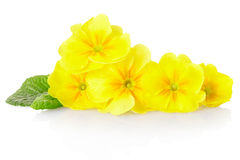 Primrose. Yellow primrose arrangement isolated on white, clipping path included Royalty Free Stock Photography
