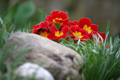 Primrose. Beautiful red flowers of primrose growing in the spring garden Royalty Free Stock Photography