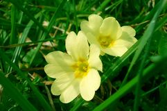 primrose Royaltyfria Foton