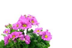 Primrose Royalty Free Stock Image