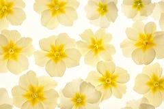 primrose Royaltyfri Bild