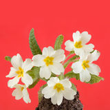 Primrose Royalty Free Stock Photos