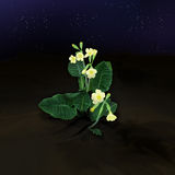 Primrose. Under the night sky Stock Images