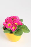 Primrose Royalty Free Stock Photo