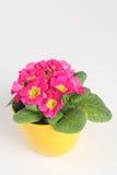 Primrose royalty free stock photo