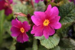 primrose Royaltyfri Foto